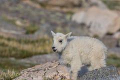 Ребенк козы горы Стоковое Фото