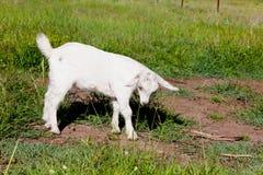 Ребенк козы пигмея части молодой белый Стоковое Изображение RF