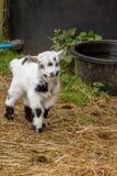 Ребенк козы Стоковое Изображение
