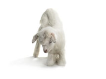 Ребенк козы Стоковые Изображения