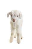 Ребенк козы Стоковые Изображения RF