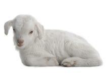 Ребенк козы Стоковая Фотография RF