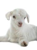 Ребенк козы Стоковые Фотографии RF