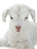 Ребенк козы Стоковая Фотография