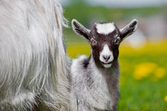 Ребенк козы outdoors Стоковая Фотография RF