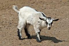 Ребенк, молодая коза Стоковая Фотография