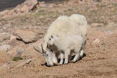 Ребенк няни козы горы Стоковое Изображение RF