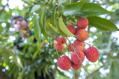 Ребенк общипывает lychee от дерева на ranisonkoil, thakurgoan, Бангладеше Стоковые Изображения