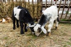 Ребенк отечественной козы Стоковое Изображение RF