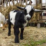 Ребенк отечественной козы Стоковые Изображения