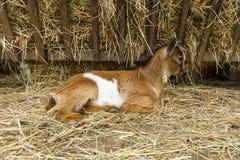 Ребенк отечественной козы Стоковые Изображения RF