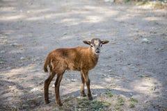 Ребенк тетеревиных козы Брайна стоя на том основании Стоковая Фотография RF