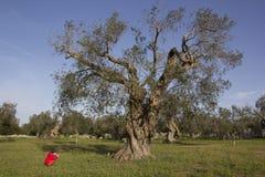 Ребенок и оливковое дерево Стоковое Изображение RF