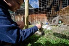 Ребенок которое дает траву к кроликам стоковое фото rf