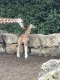 Ребенок мамы младенцев жирафа Стоковое фото RF