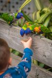 Ребенок подавая красочная радуга Lorikeets попугая Стоковые Изображения RF