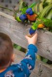 Ребенок подавая красочная радуга Lorikeets попугая Стоковые Фотографии RF