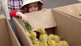 Ребенок подает желтые гусята с листьями одуванчика видеоматериал