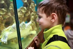 Ребенок смотря черепаху Кеймана Стоковая Фотография