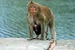 ребенок monkeys резус мати Стоковая Фотография