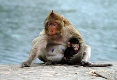 ребенок monkeys резус мати Стоковые Фотографии RF