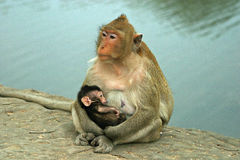 ребенок monkeys резус мати Стоковые Фото