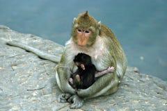 ребенок monkeys резус мати Стоковые Изображения