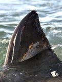 Ребро большой белой акулы (carcharias Carcharodon) стоковая фотография rf