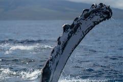 Ребро горбатого кита pectoral стоковые изображения