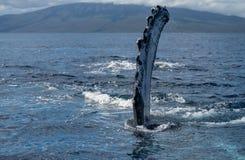 Ребро горбатого кита Pectoral стоковое фото