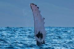 Ребро горбатого кита Pectoral стоковое изображение