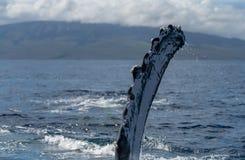 Ребро горбатого кита Pectoral стоковые изображения rf