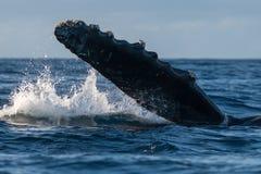 Ребро горбатого кита Pectoral стоковая фотография