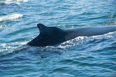 Ребро кита Humpback Стоковое фото RF