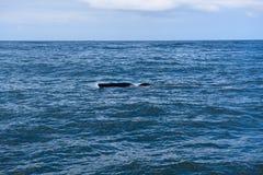 Ребро южного правильного кита в заливе Hermanus в Индийском океане стоковые изображения rf