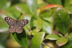 древесина запятнанная бабочкой Стоковые Изображения RF