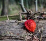 древесина песни природы влюбленности grouse одичалая Стоковые Фотографии RF