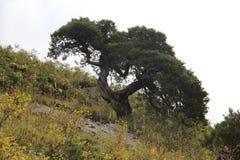 древесина песни природы влюбленности grouse одичалая Стоковые Изображения