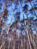древесина сосенки предпосылок полезная Стоковые Изображения