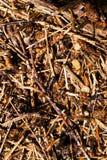 древесина сосенки холма муравея конец вверх Стоковая Фотография RF