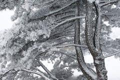 древесина текстуры сосенки Стоковая Фотография