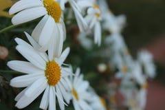 Революция силы белого цветка стоковое изображение rf