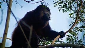 Ревун на Ometepe Стоковые Фото