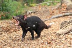Ревя tasmanian дьявол стоковая фотография