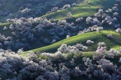 Рев абрикоса Китая Sinkiang Yili Стоковая Фотография