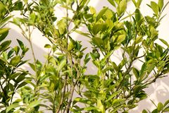 Регион microcarpa Calamondin Citrofortunella стоковые фотографии rf