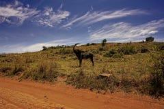 Редкая антилопа соболя в Южной Африке Стоковое Фото