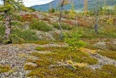 Редкая лиственница в тундре. стоковая фотография