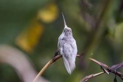 Редкие белые spectabilis Eugenes колибри Leucistic пышные в Коста-Рика стоковые изображения