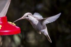 Редкие белые spectabilis Eugenes колибри Leucistic пышные в Коста-Рика стоковое изображение